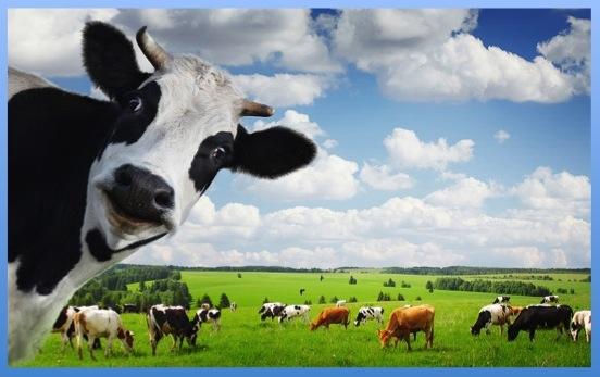 cows4WP@@@